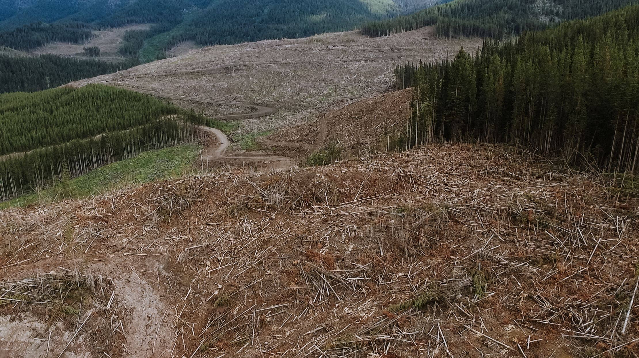 whitebark pine clearcut logging