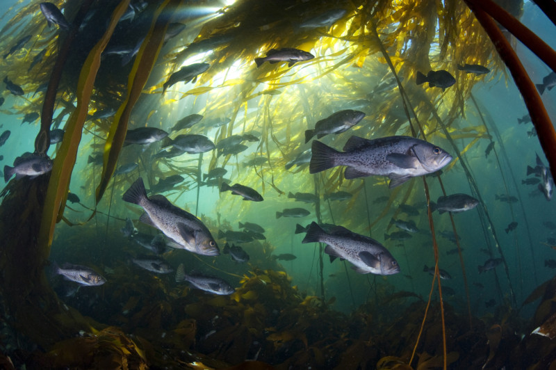 Black rockfish find shelter among the bull kelp near Vancouver Island. Photo: Alex Mustard