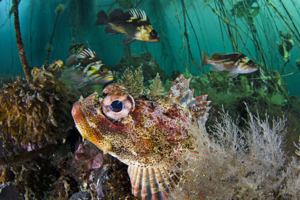 A red Irish lord hides on the seabed with quillback rockfish and copper rockfish behind in a bull kelp forest. Photo: Alex Mustard