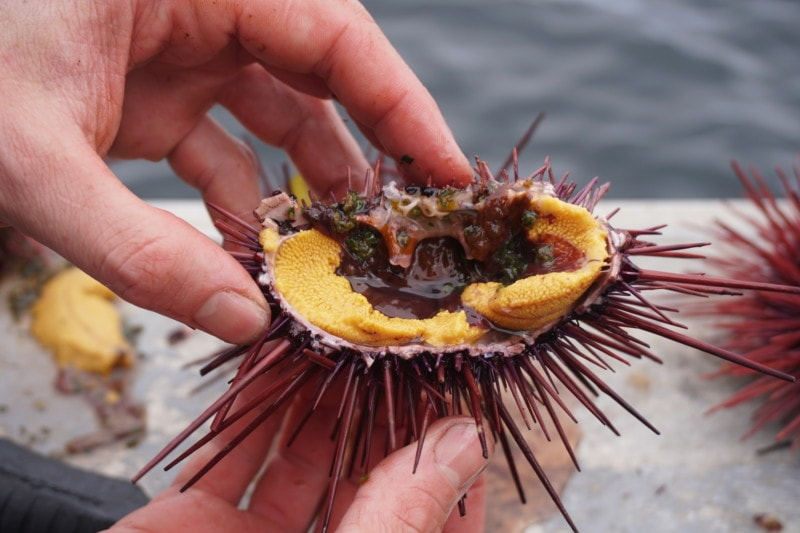 Guuding.ngaay (red urchin roe) is a traditional food of the Haida people. During the urchin-removal project, researchers distributed roe to communities on Haida Gwaii a number of times. Photo: C. Houston