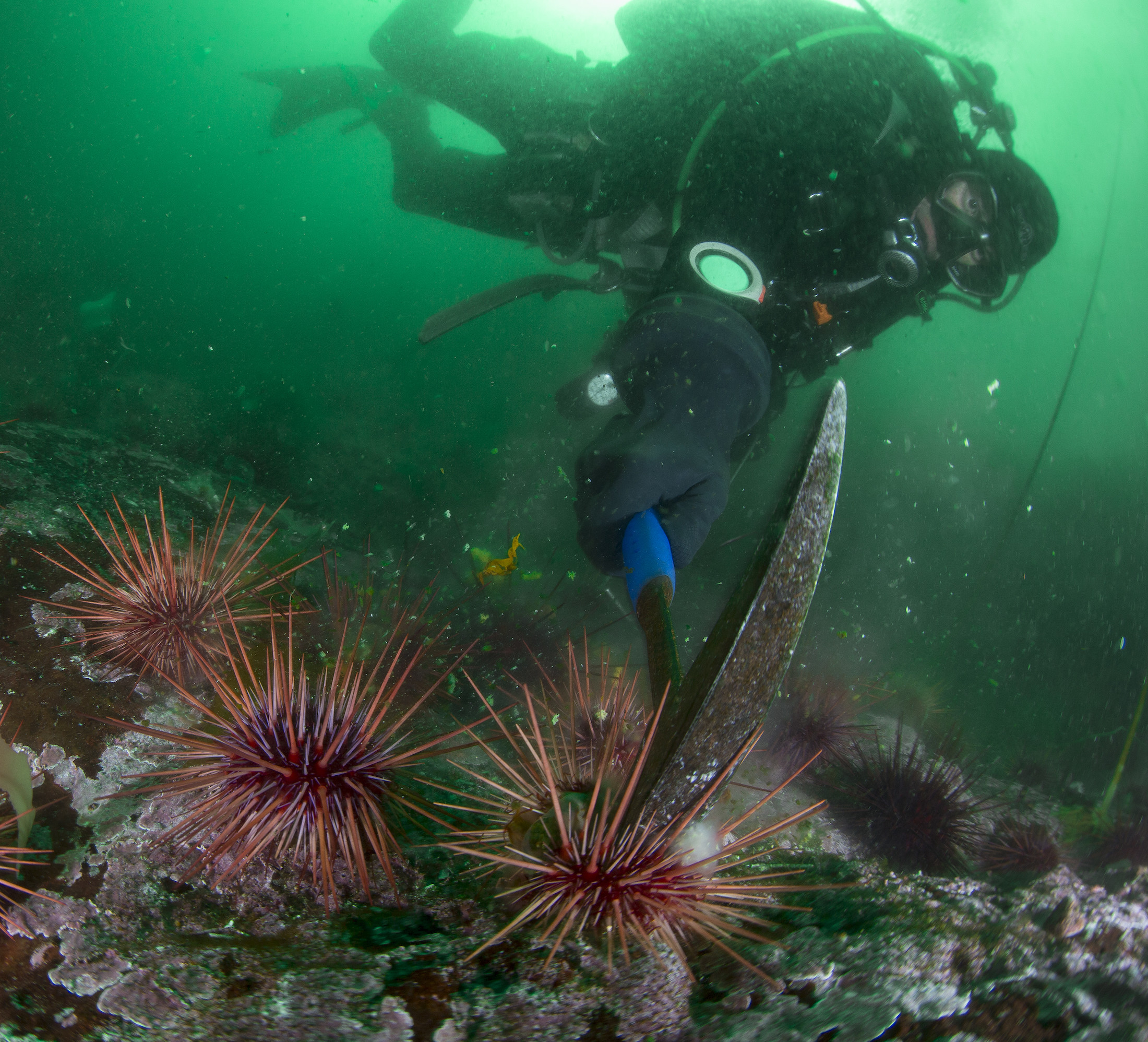 Ben Penna, a Haida Fisheries Program science diver, cracks an urchin. The Haida Nation, Fisheries and Oceans Canada, Parks Canada, commercial urchin fishers and many partners are working to restore kelp forests by removing at least 75 per cent of the sea urchins along three kilometres of the Gaysiigas Gwaay (Murchison Island) shoreline. Photo: Ryan Miller