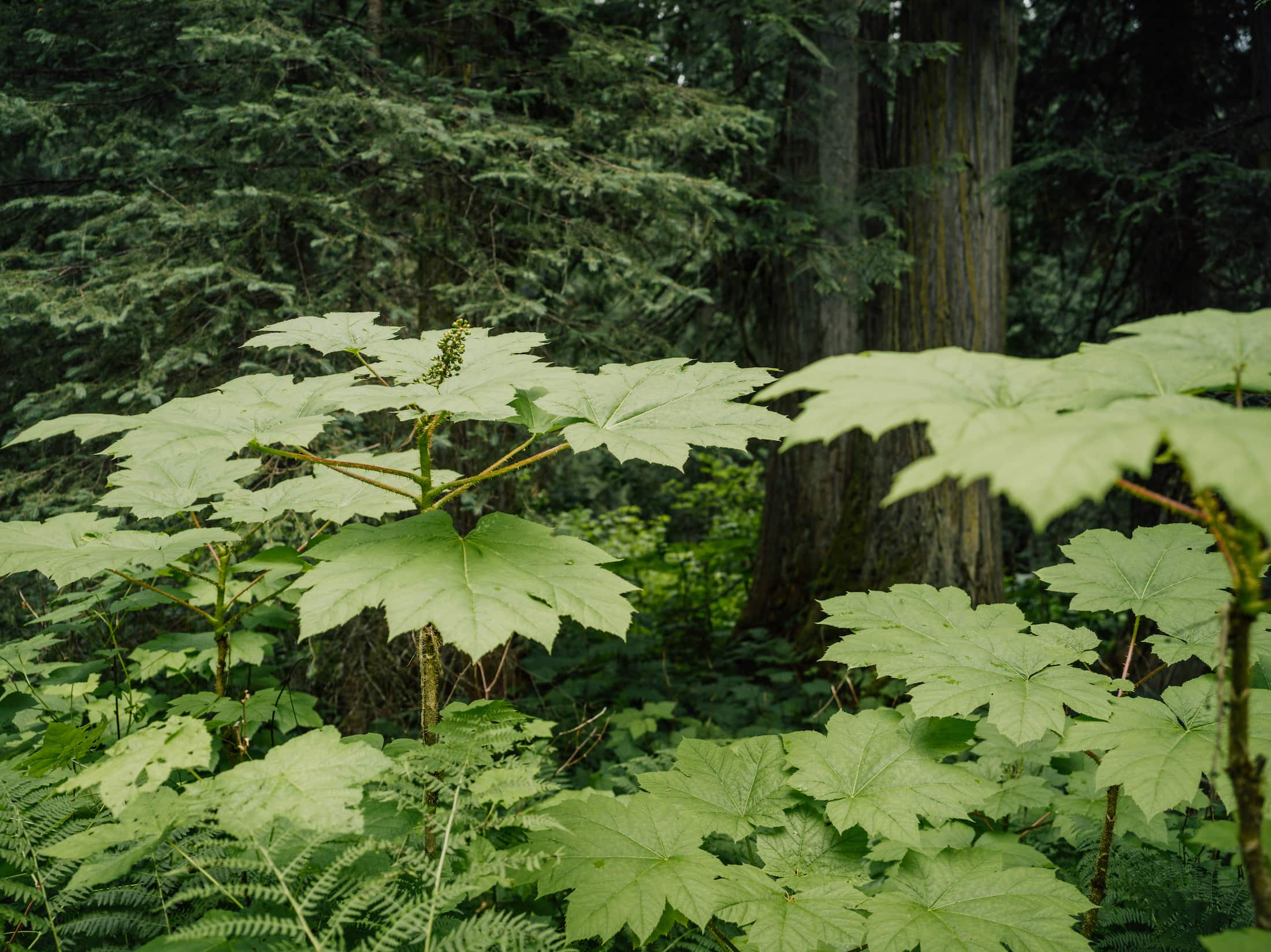 Inland temperate rainforest old-growth understory The Narwhal
