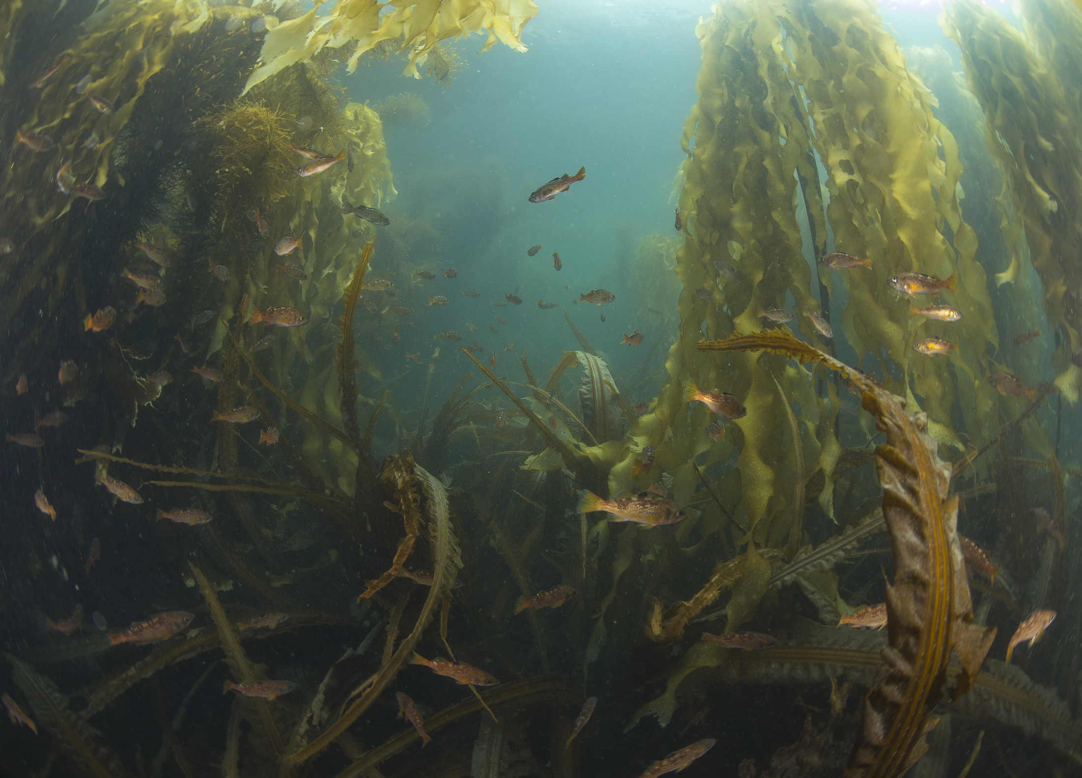 Two species of canopy kelp that have especially benefited from urchin removal include bull kelp and giant kelp, and many species of understory (shorter) kelp are benefitting as well. Photo: Ryan Miller