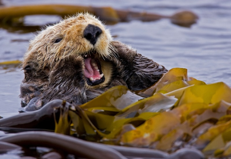 Sea otters are voracious predators that compete for many of the same food resources that local Haida fishermen target and some people in the local community are anxious about their return. Photo: Matthew Maran