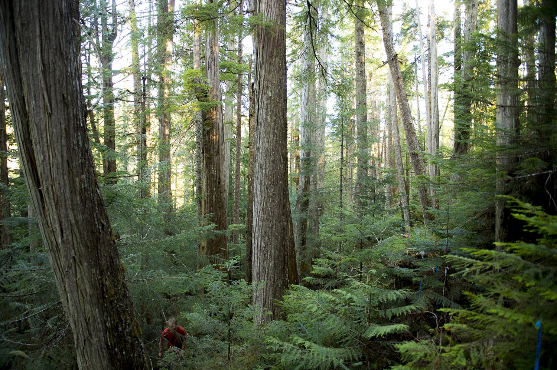 Cedars Gilford Island Forest