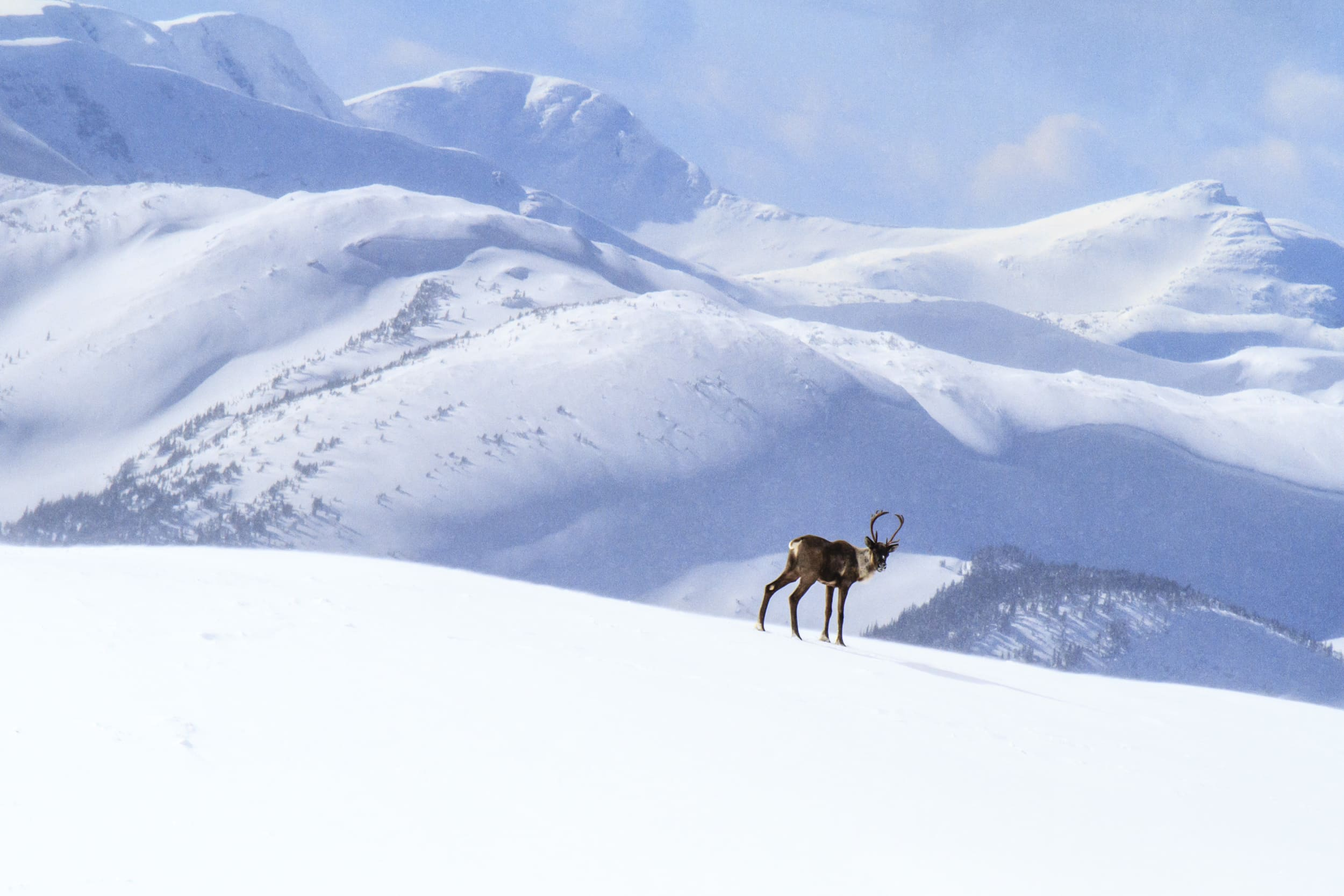 Mountain caribou above treeline in winter, Hart Ranges, BC.