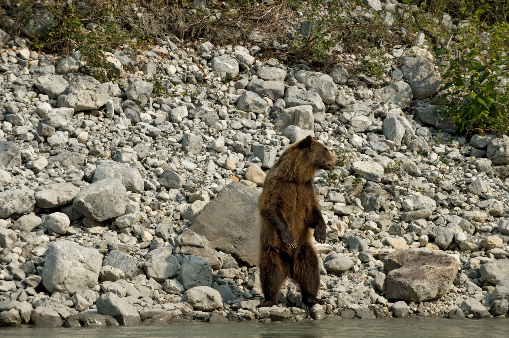 Nahanni grizzly bear