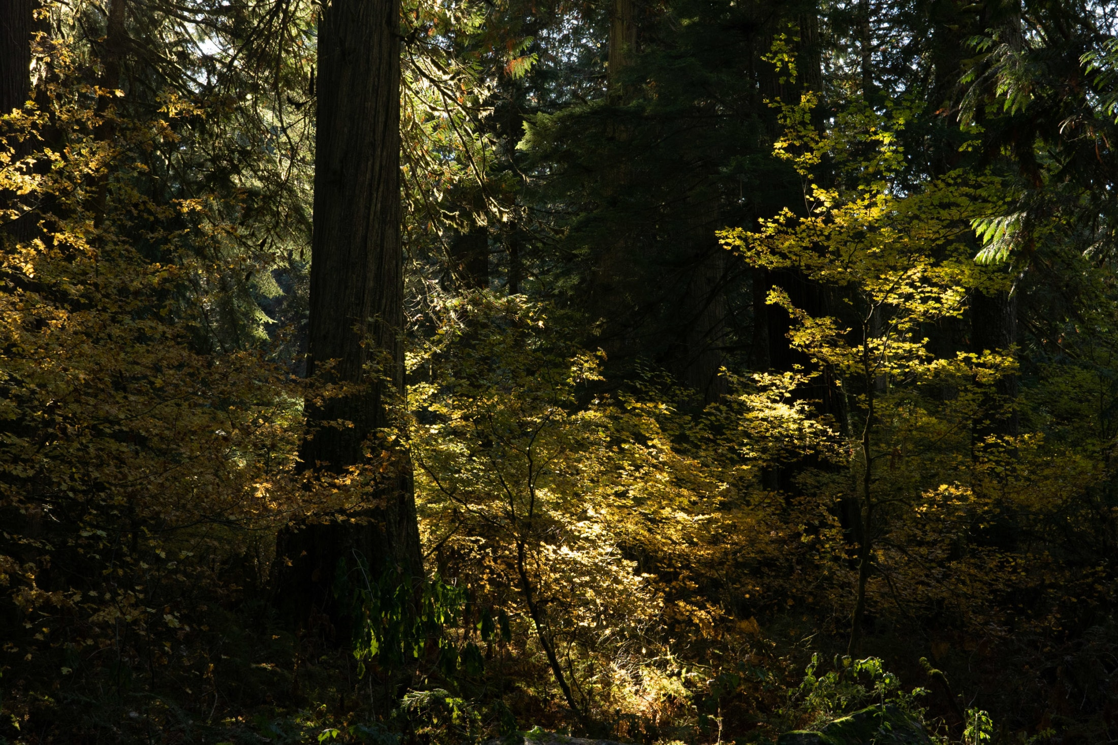 Old growth forest in the Skagit River area