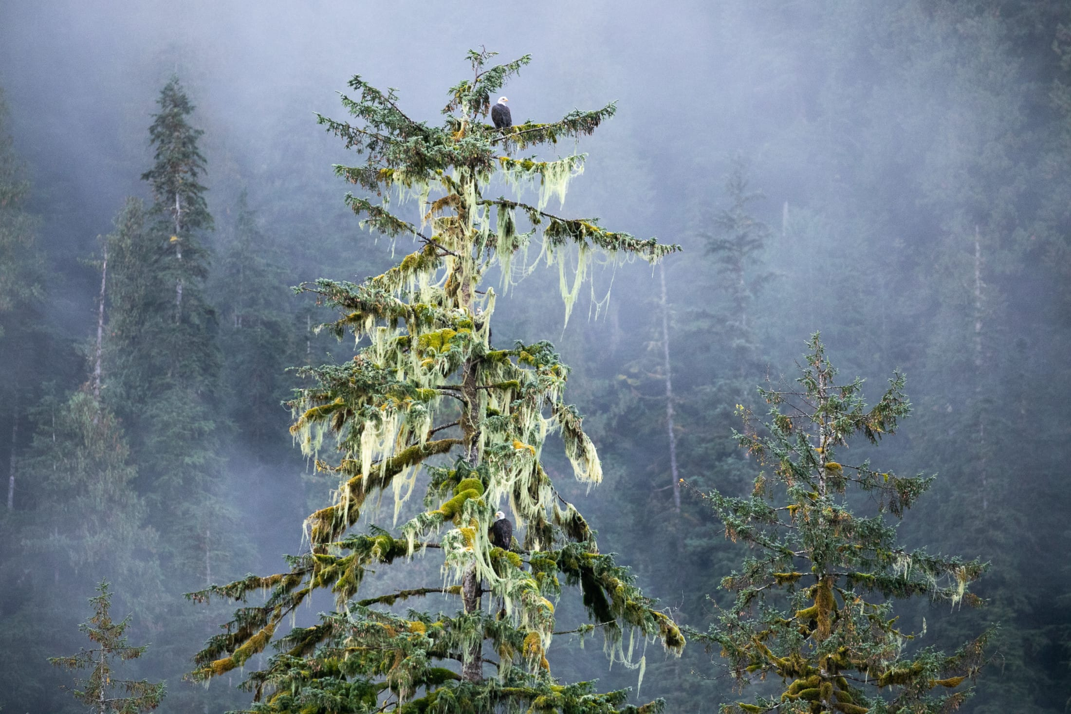 eagles Great Bear Rainforest old-growth
