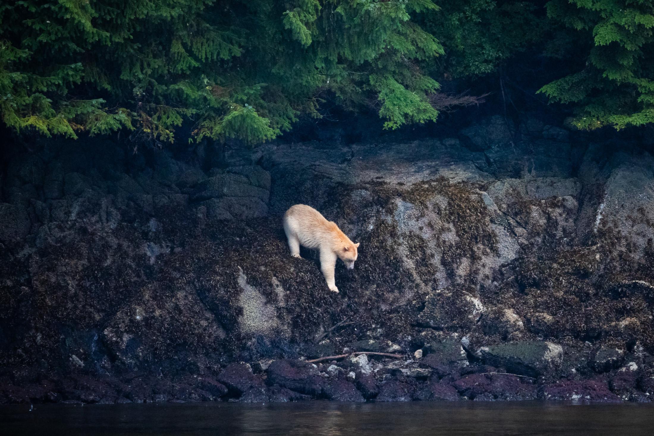 Kermode bear Great Bear Rainforest TJ Watt