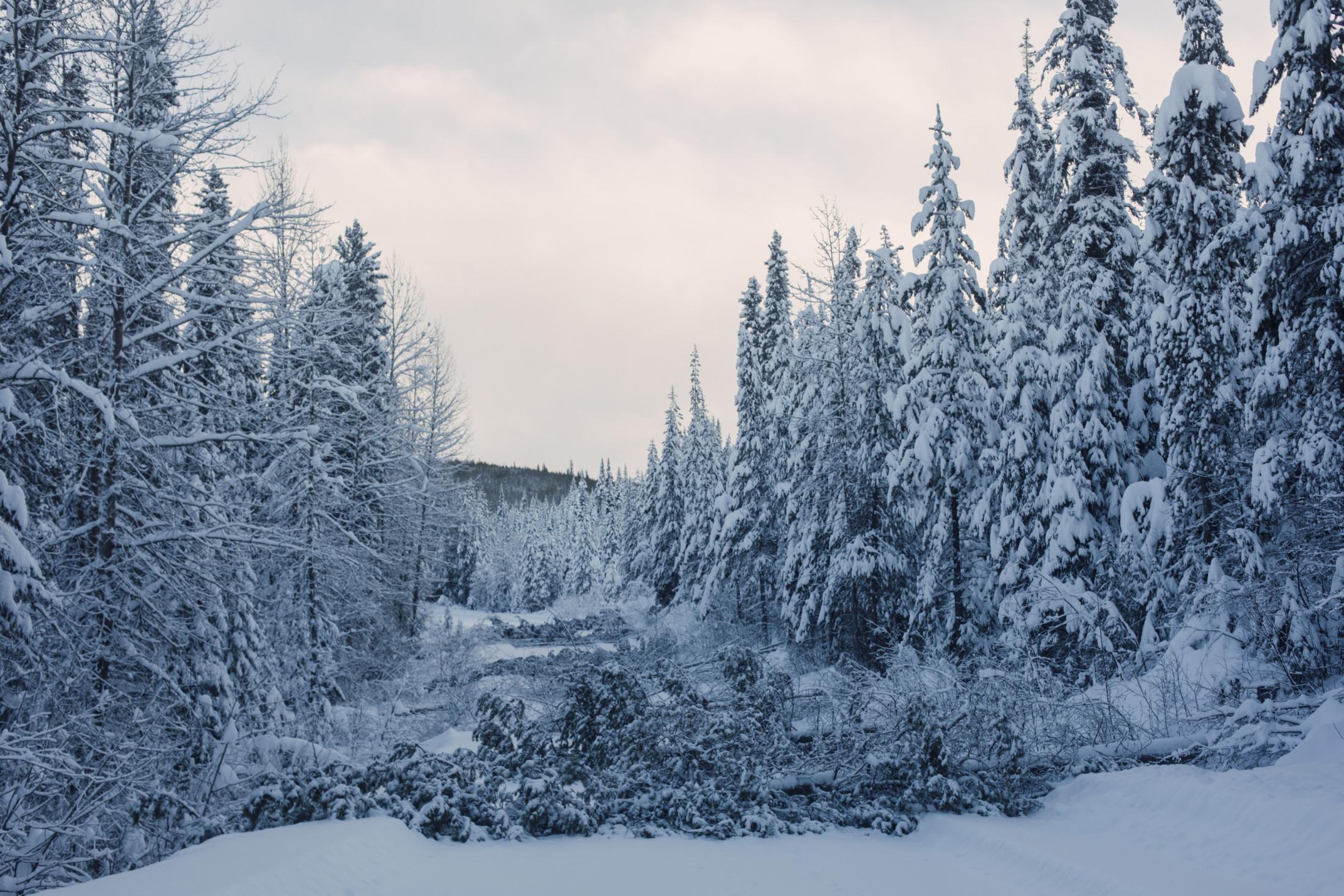 Fallen Trees Gidimt'en camp