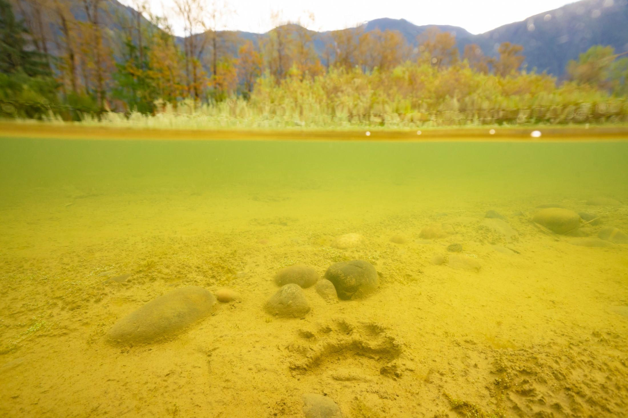 Black bear paw print Fraser River