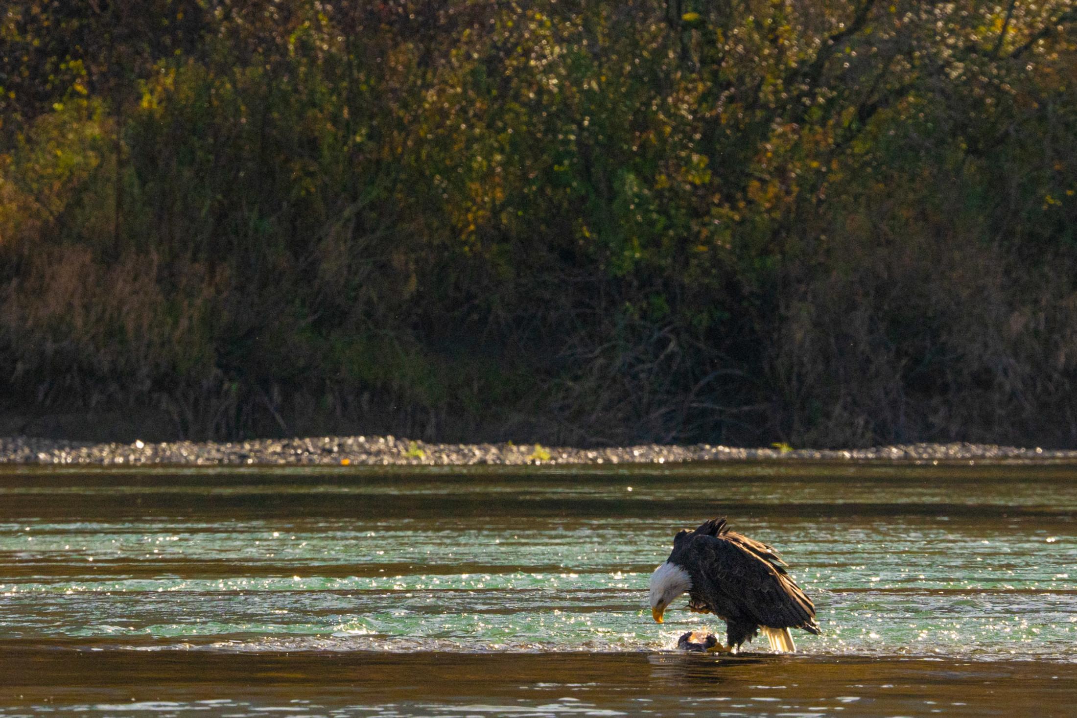 Bald eagle Fraser River