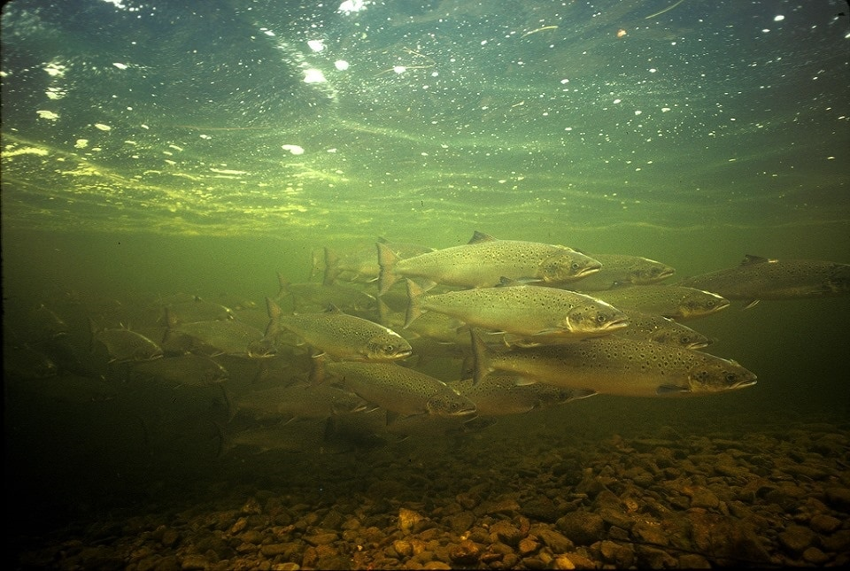 gold mining Atlantic salmon species at risk Nova Scotia