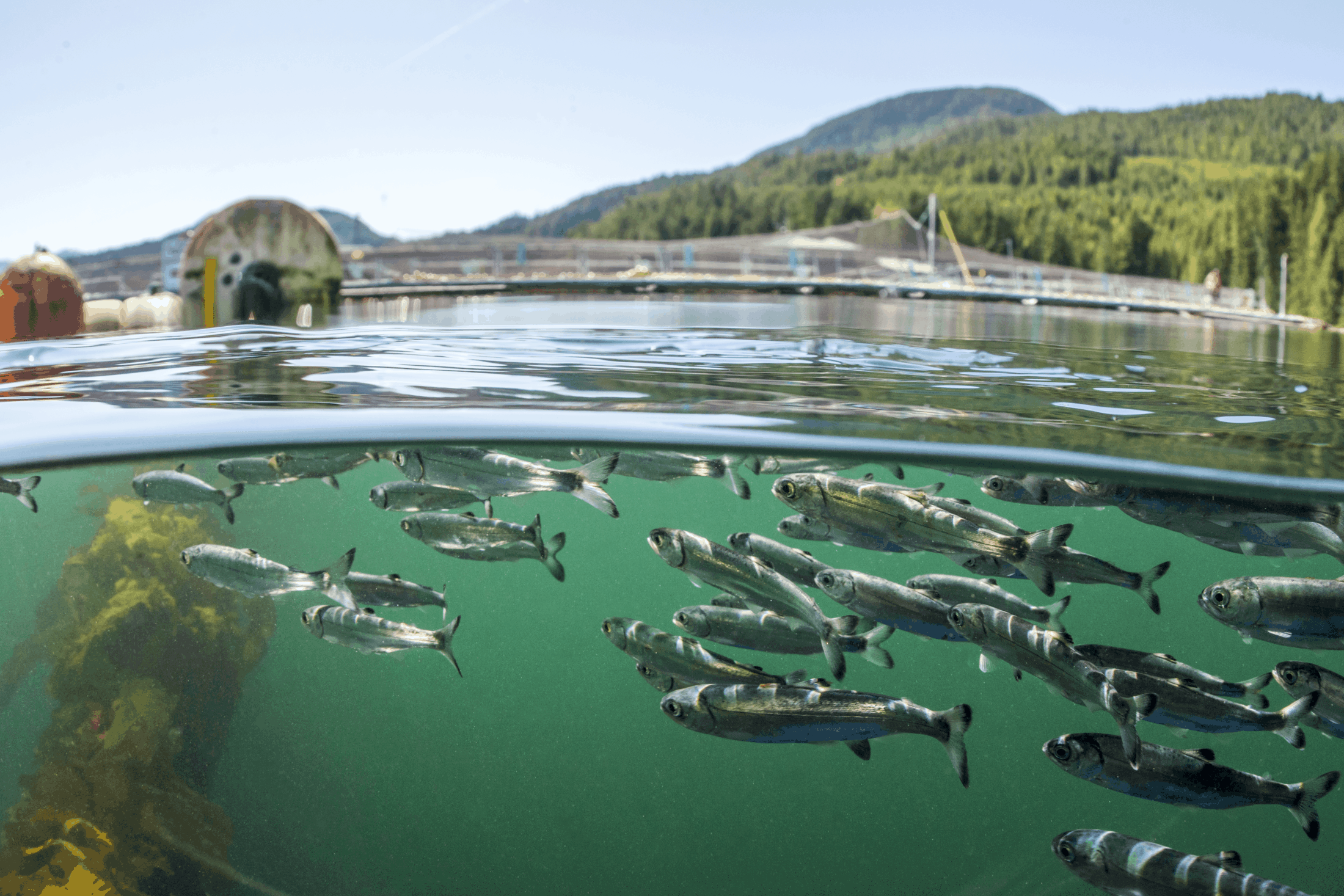 wild salmon smolts at fish farm-credit tavish campbell