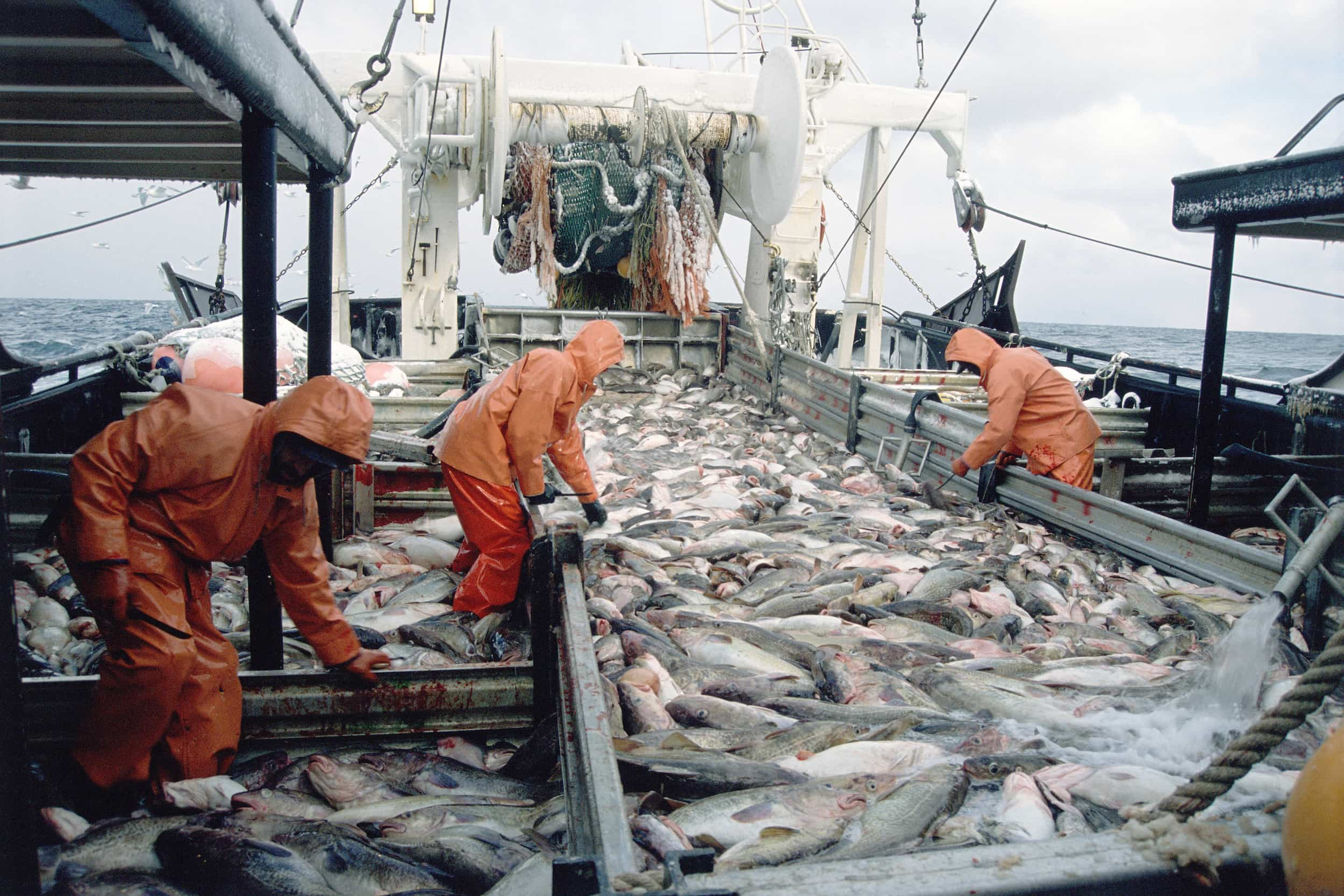 Commercial Fisherman Processing a Catch of Pacific Rock Cod, Gulf of Alaska