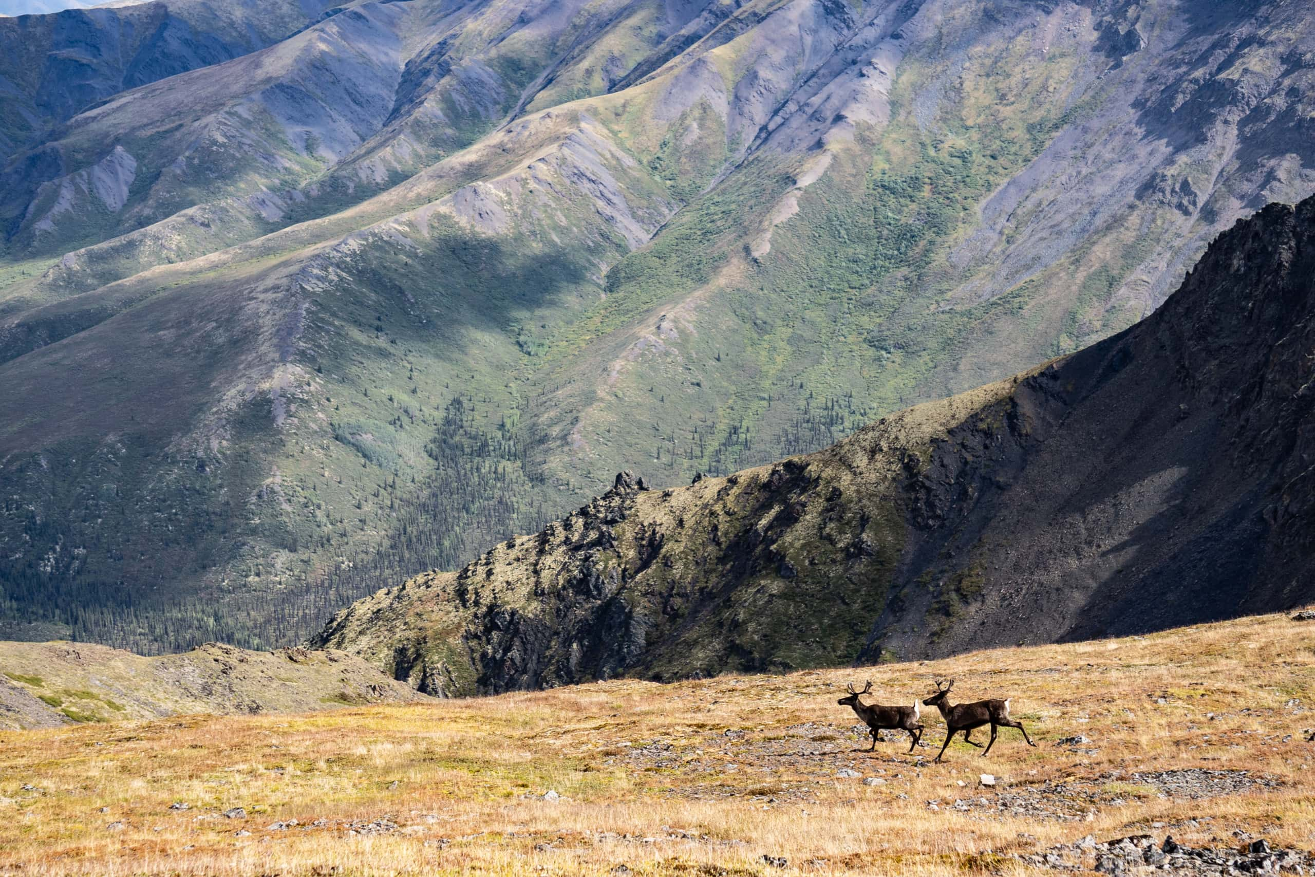 Caribou on permafrost in Tombstone Territorial Park