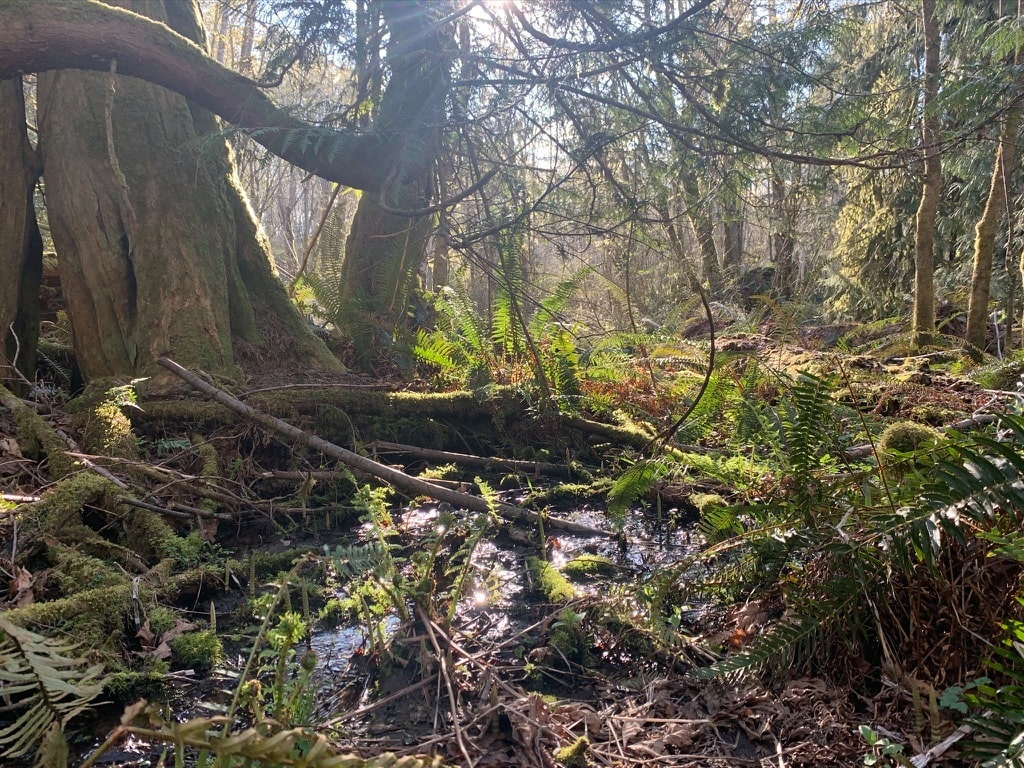 Laburnm wetland trees
