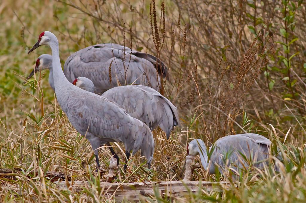 Sandhill cranes fraser river delta