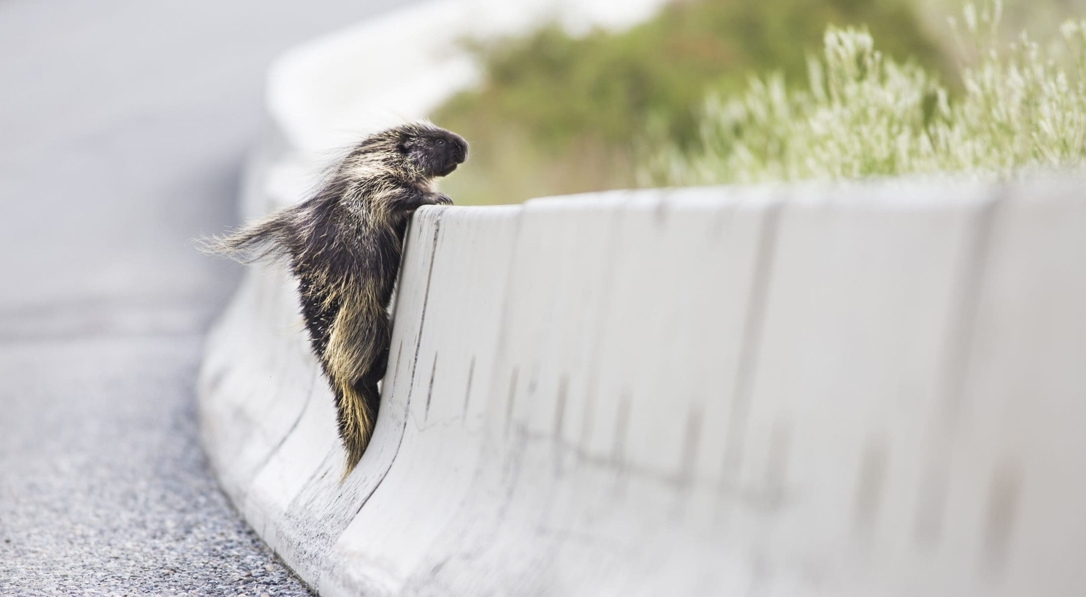 Porcupine climbs over concrete safety barrier