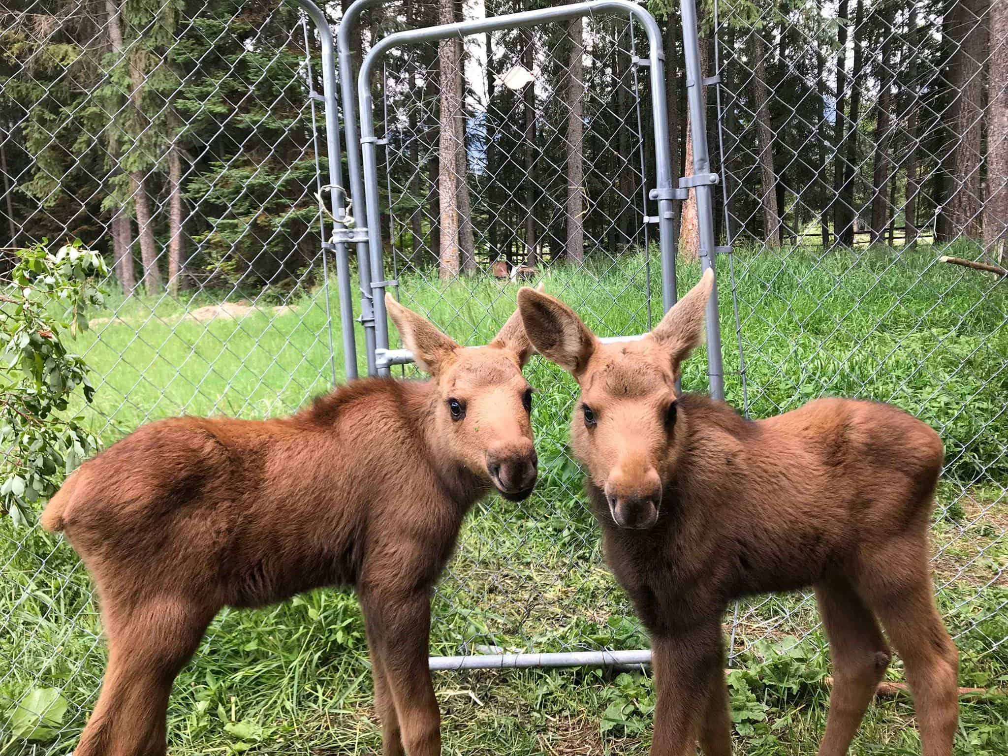 Twin moose calves NLWS