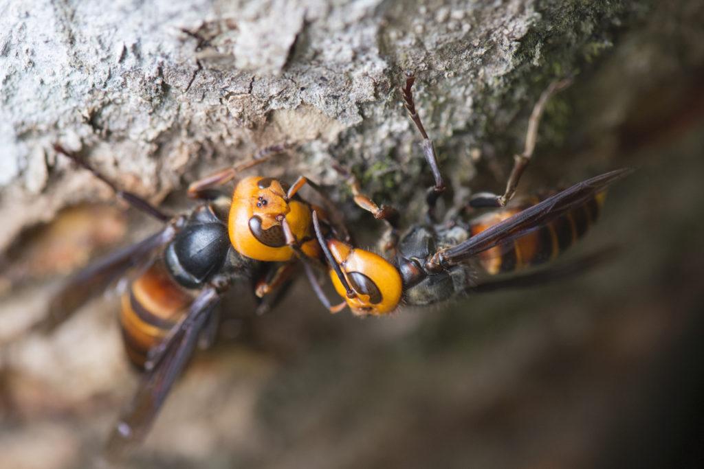 Videos about asian hornet