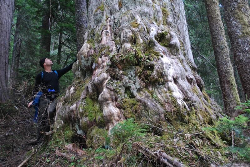 Ancient yellow cedar Dakota Ridge Elphinstone Logging Focus
