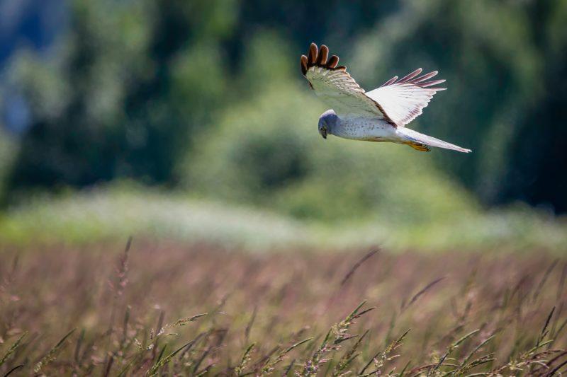 Boundary Bay Northern Harrier