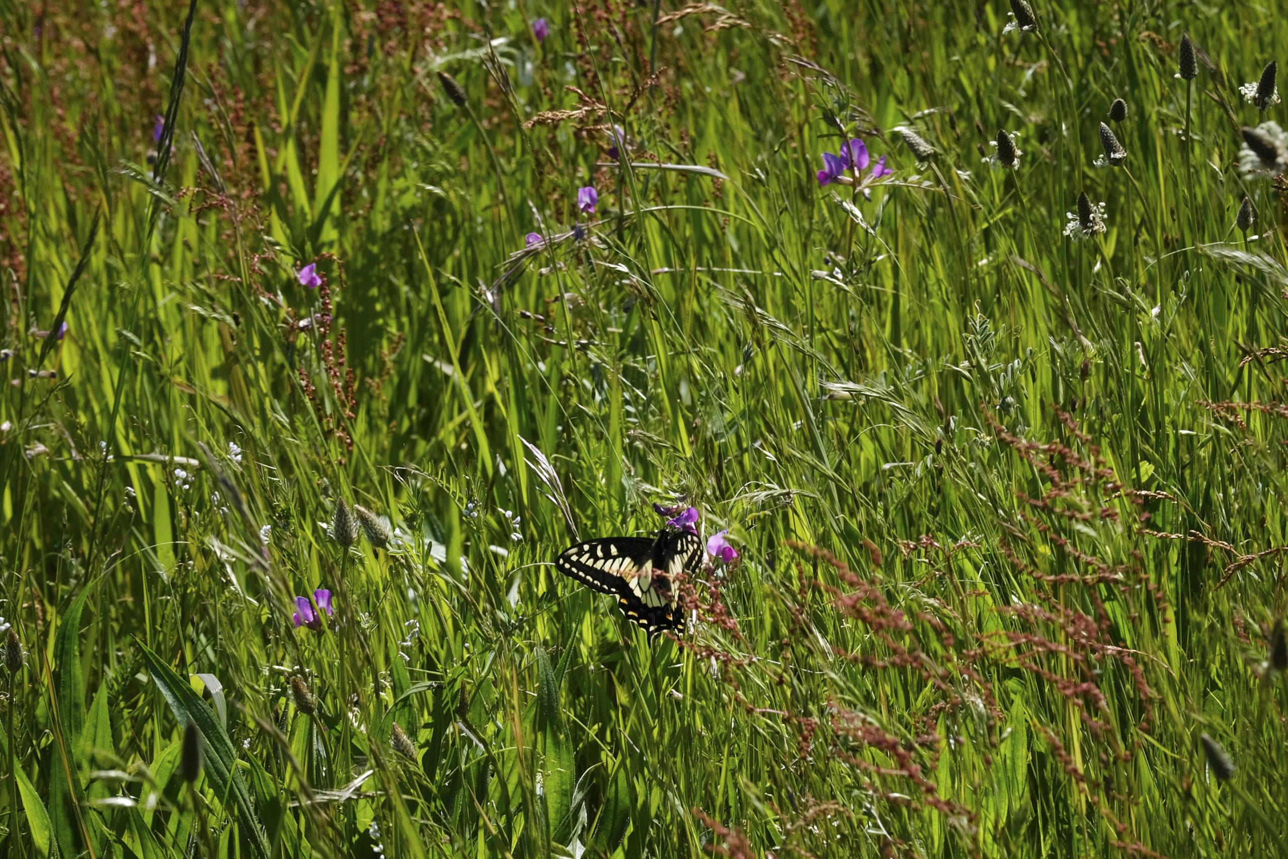 Boundary Bay butterfly