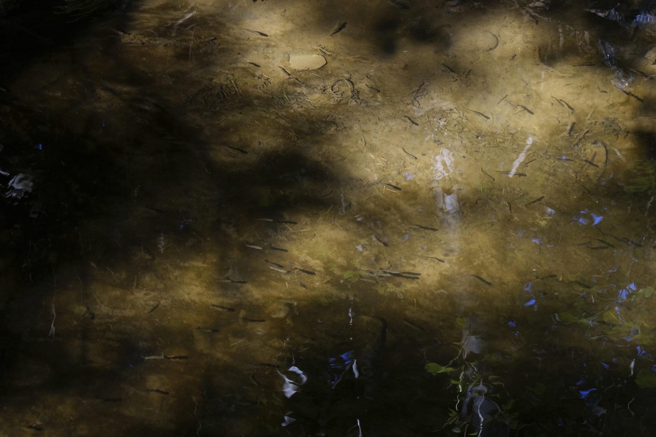 Boundary Bay marshland fish