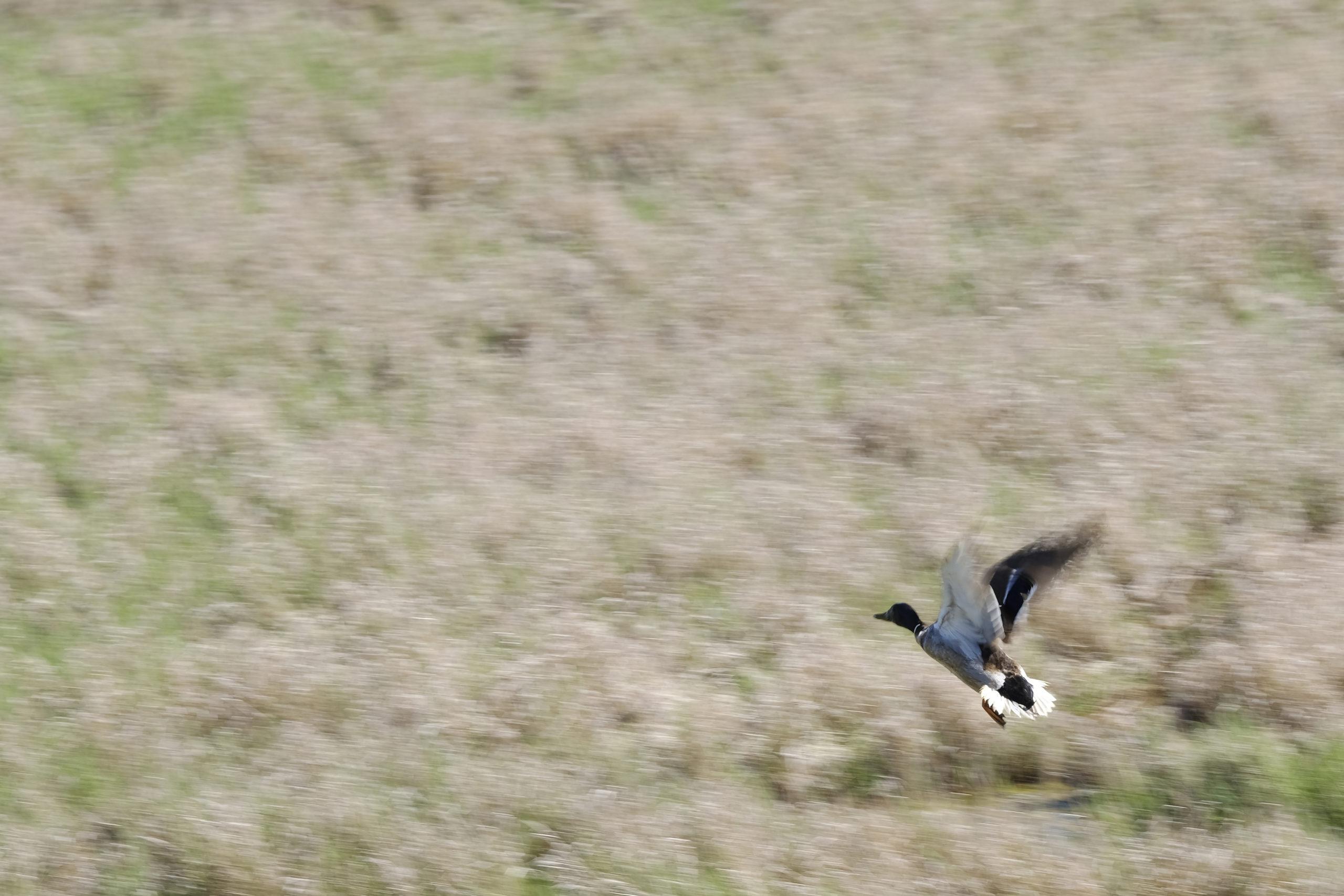 Boundary bay beach grove duck