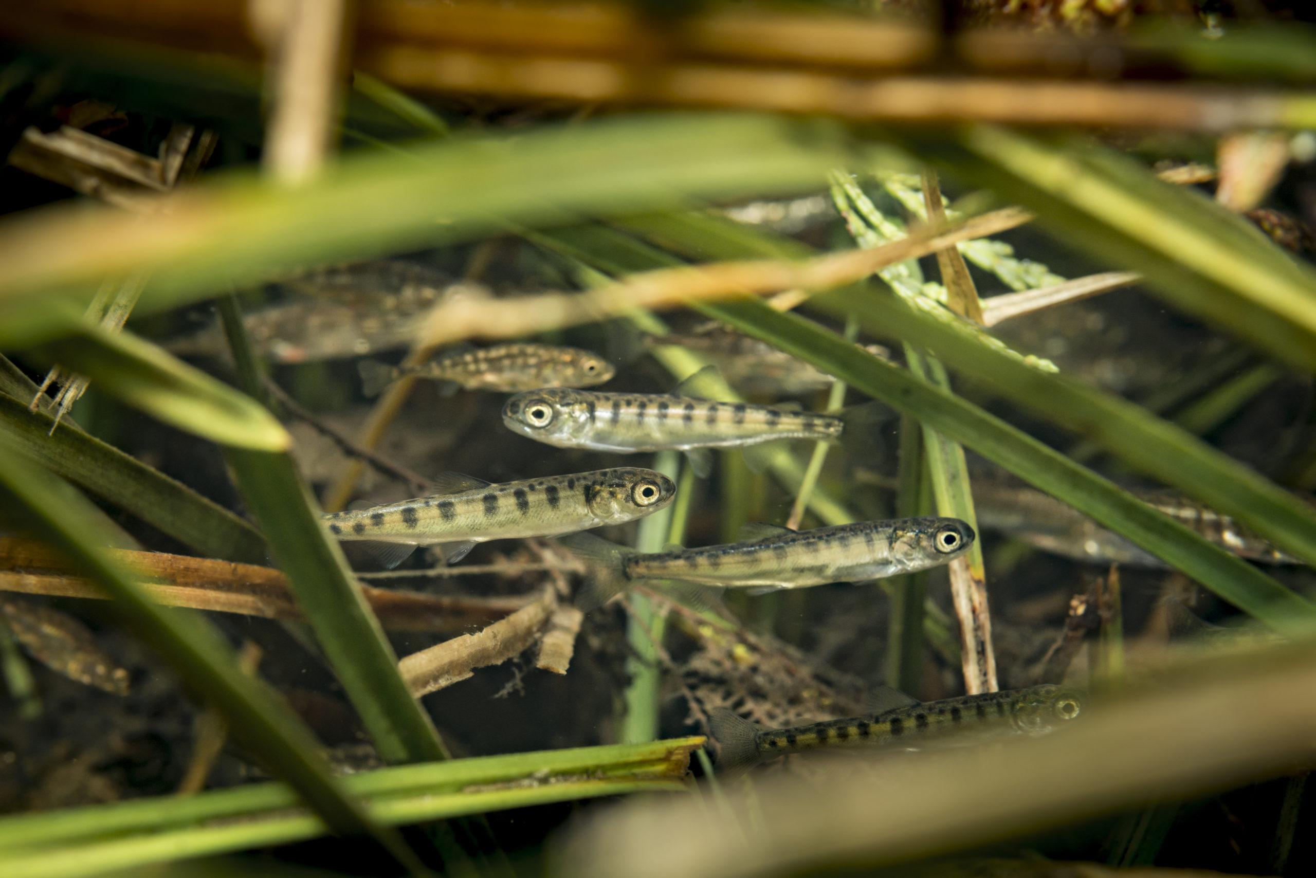 Chum fry hiding in marginal grass