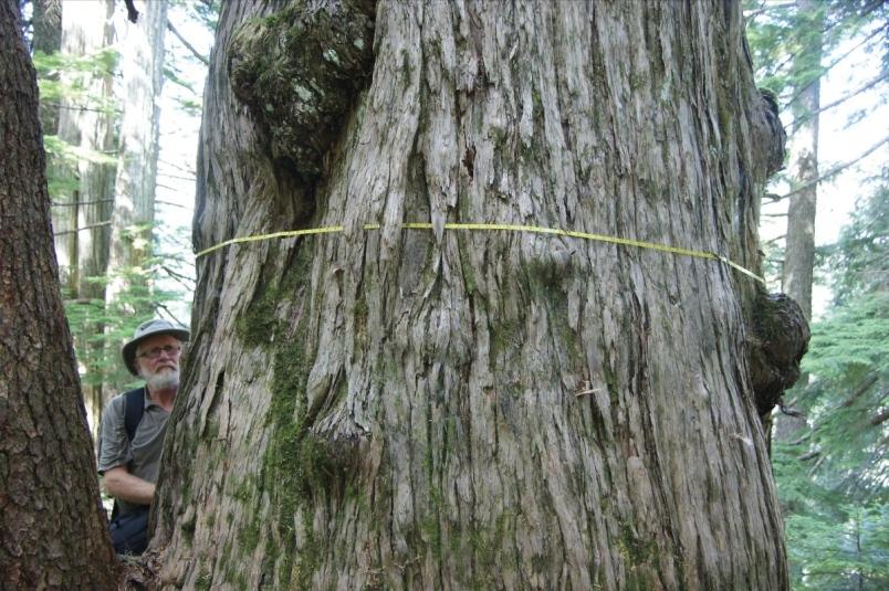 Hans Penner with an ancient cedar