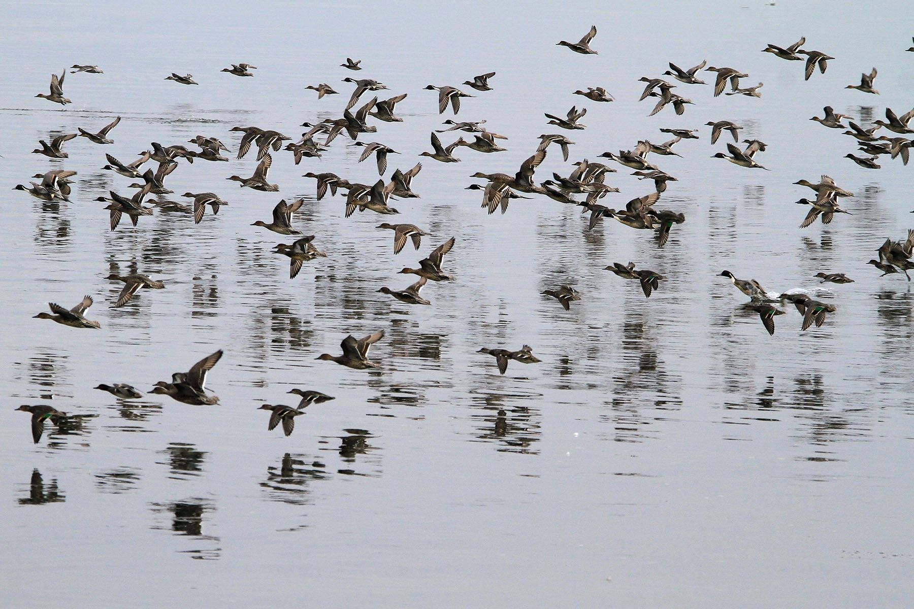 Ducks fly along the waters of Boundary Bay