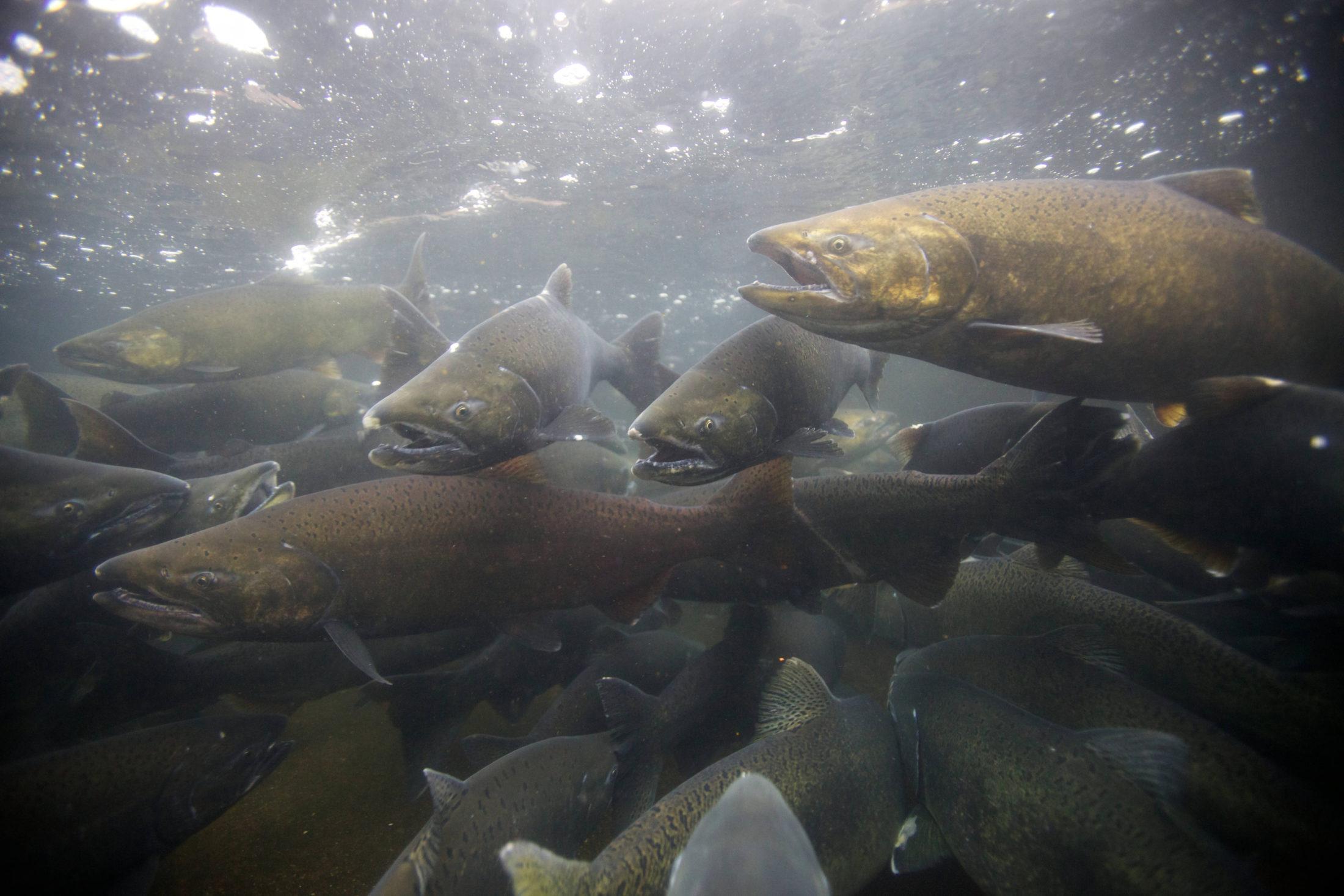 Chinook salmon Alaska Yukon
