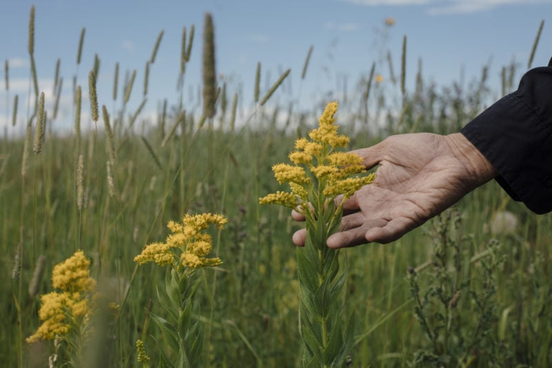 goldenrod plant Carbon sequestration grasslands