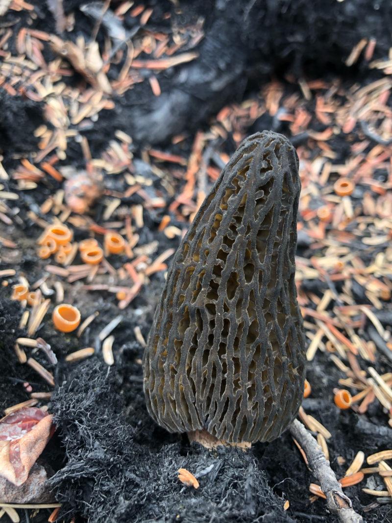Morel mushroom Yukon