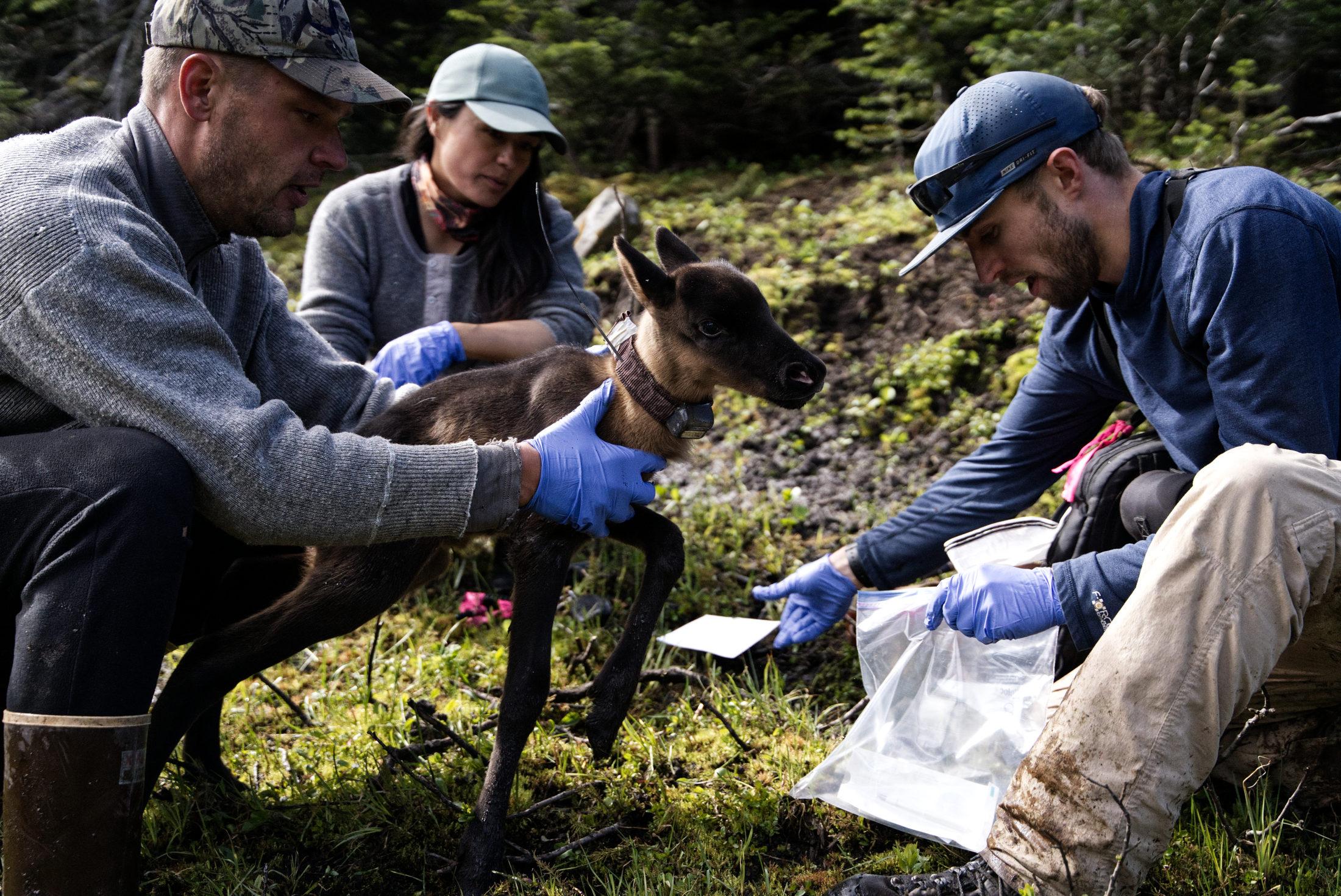 First Nations guardians caribou calf pen
