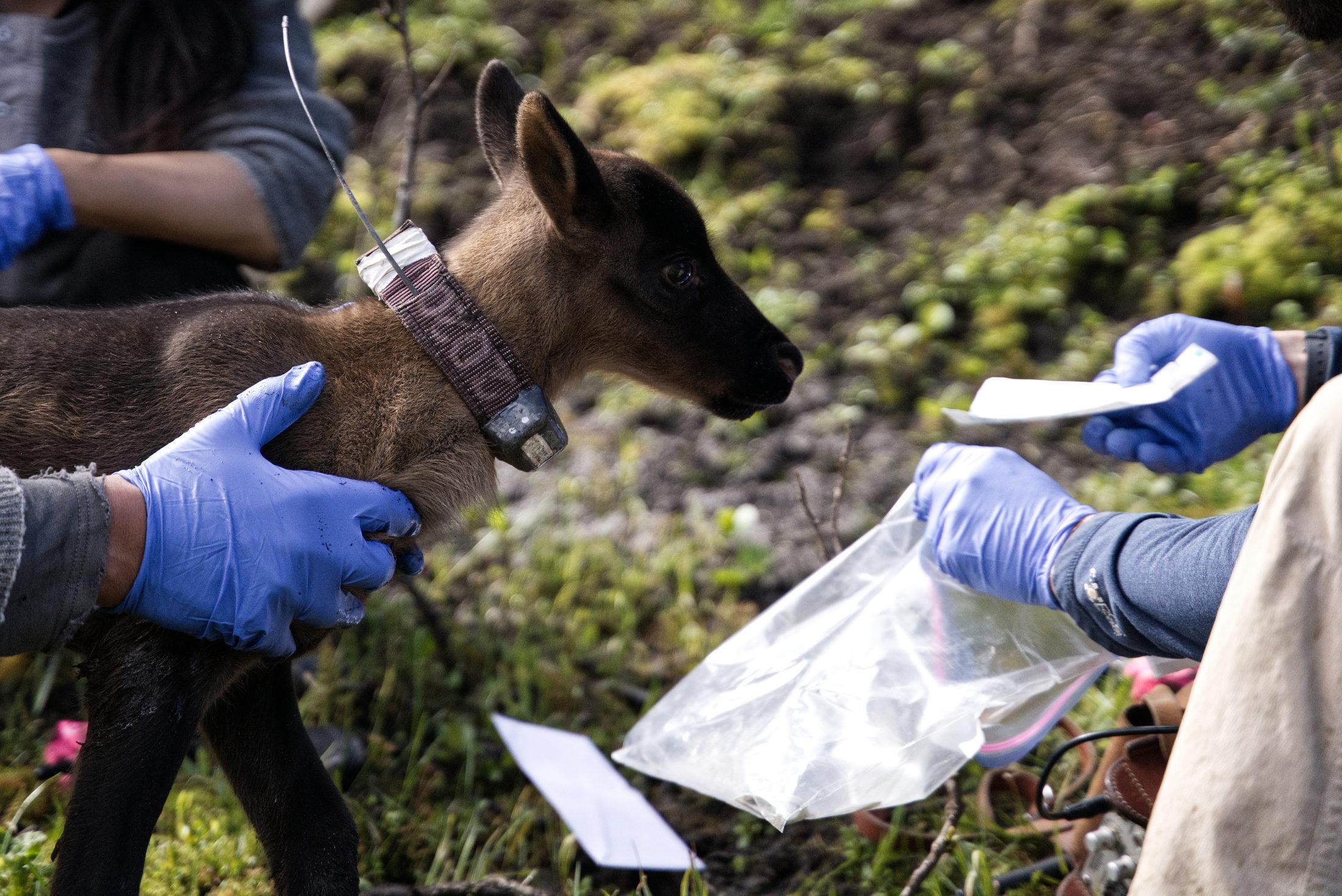 caribou calf Peace pen radio collar
