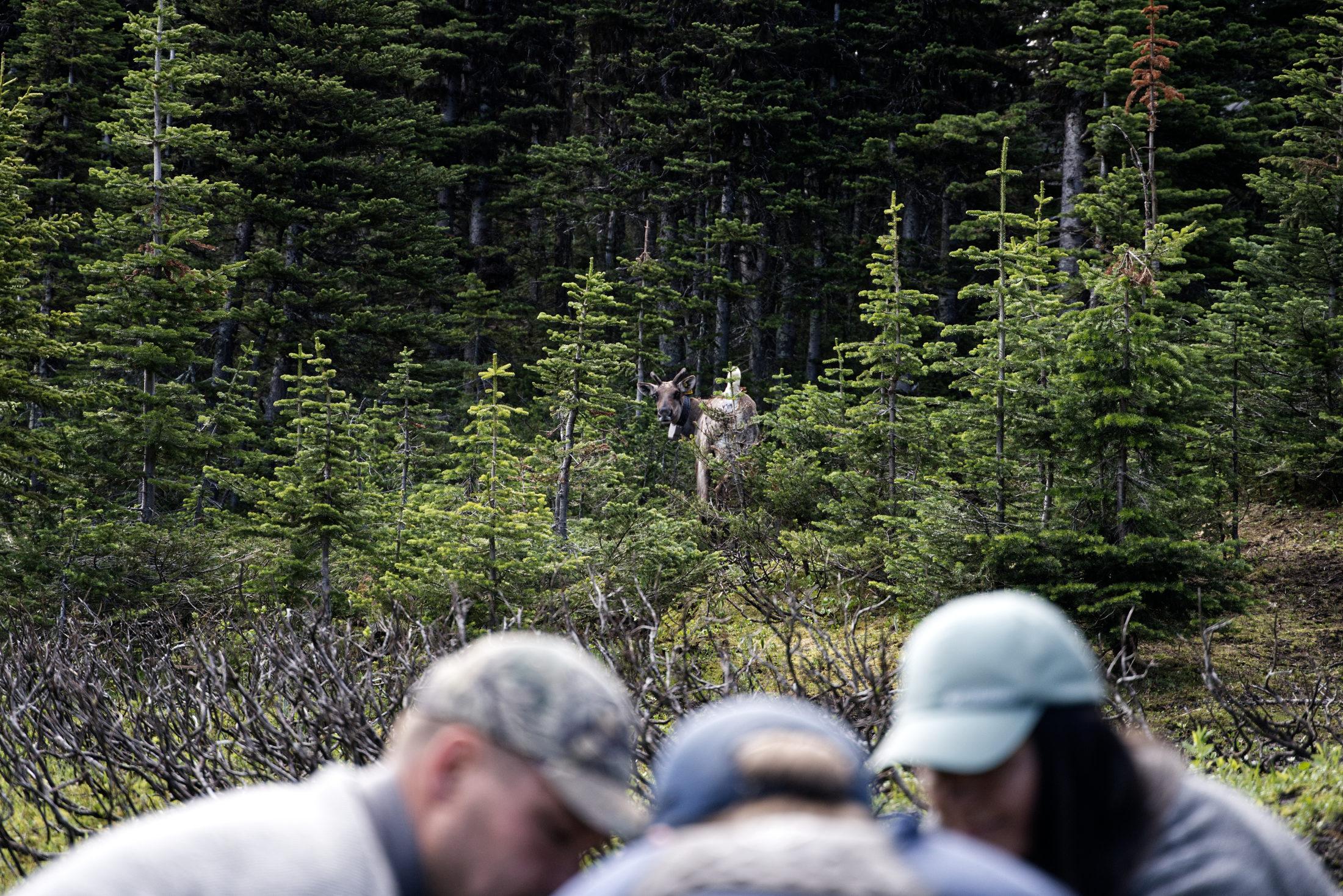 caribou mother Klinse-za herd pen