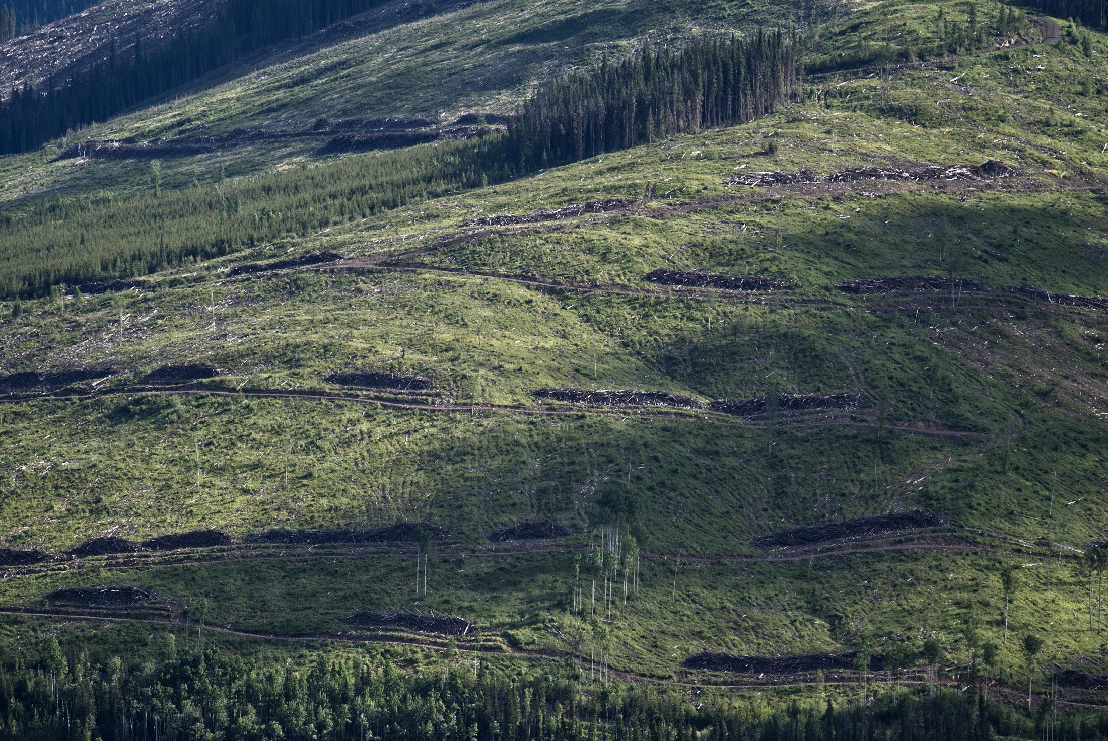 logging Peace caribou habitat