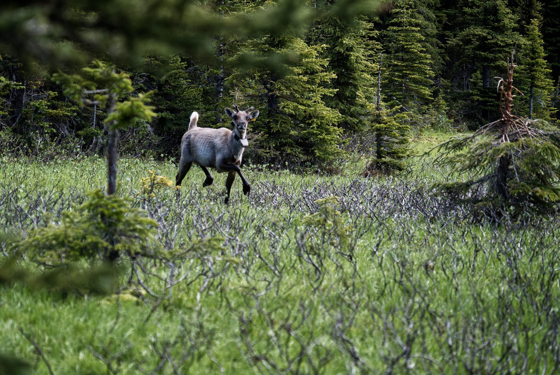 caribou Peace Klinse-za pen