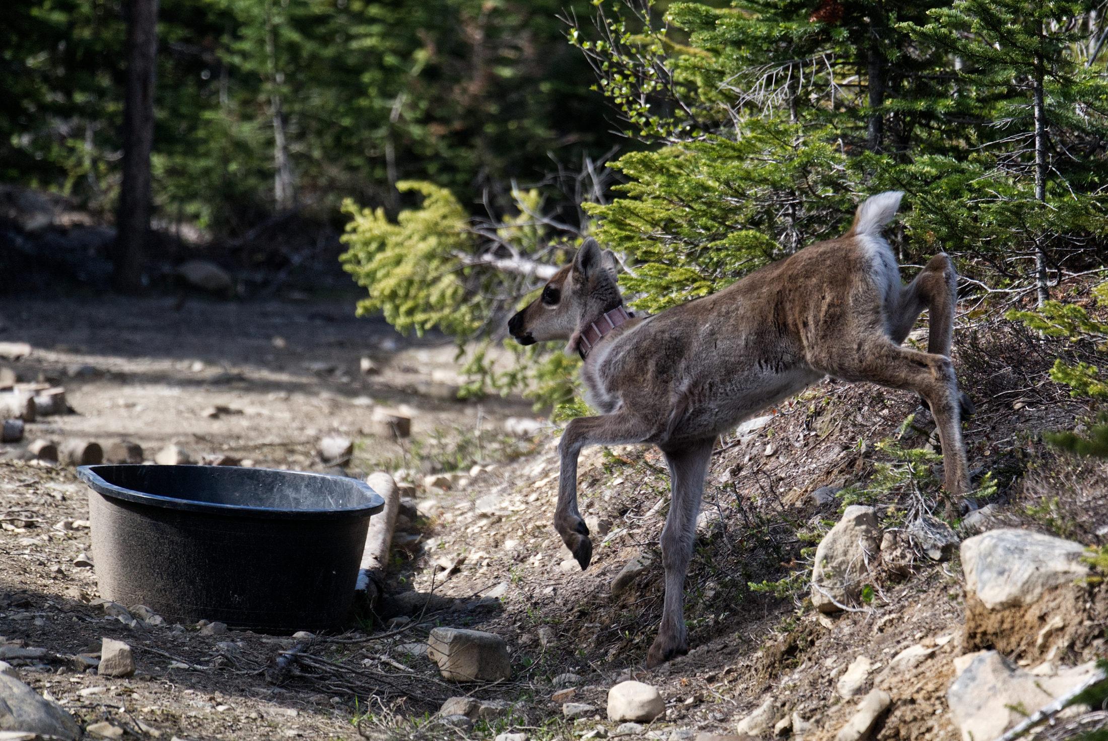 caribou calf Klinse-za pen food