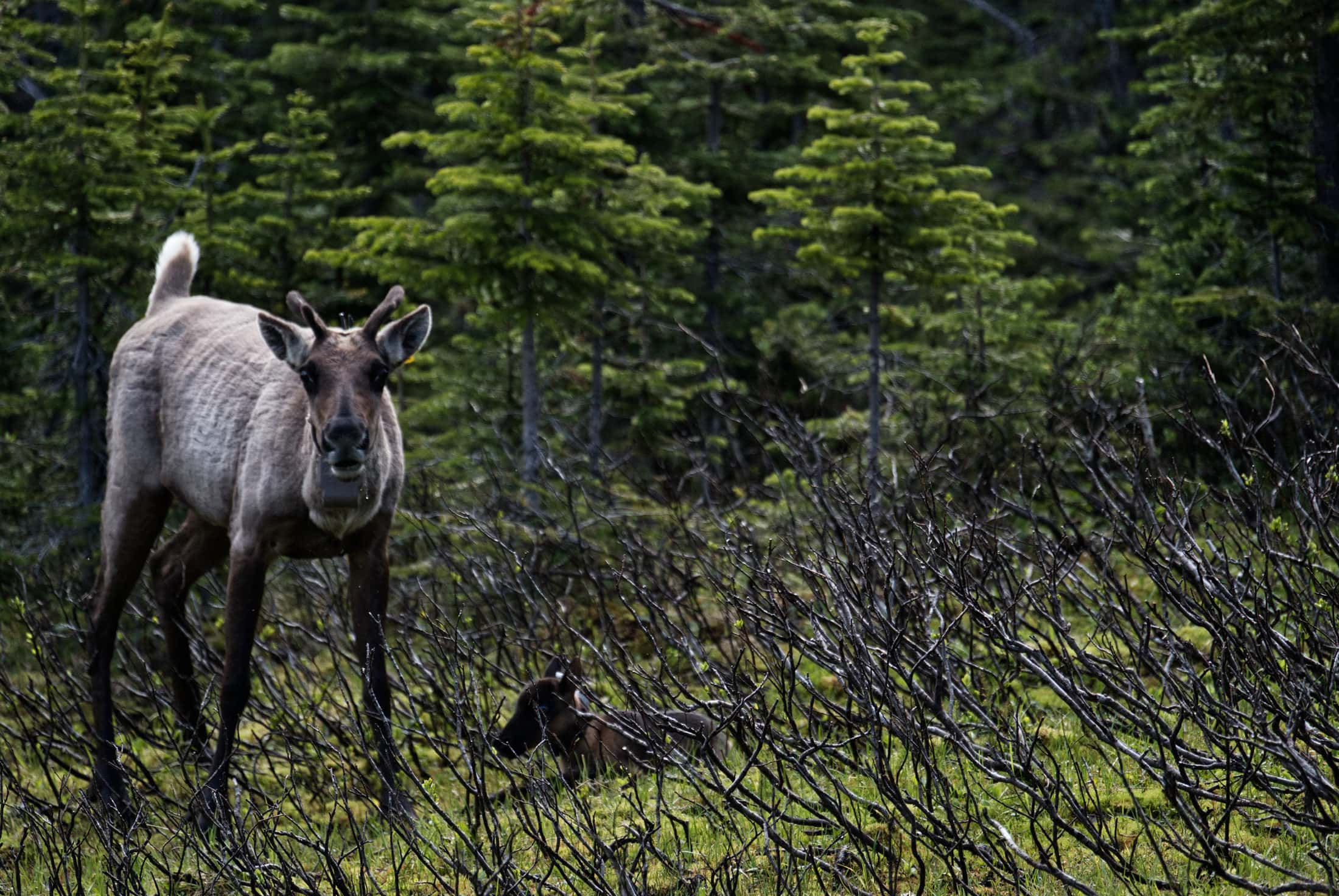 caribou mother calf Klinse-za pen