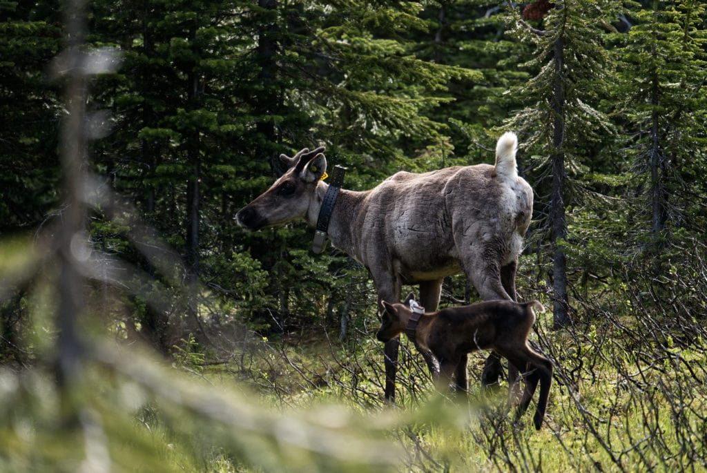 Up close with B.C.'s endangered baby caribou — and the First Nations trying to save them