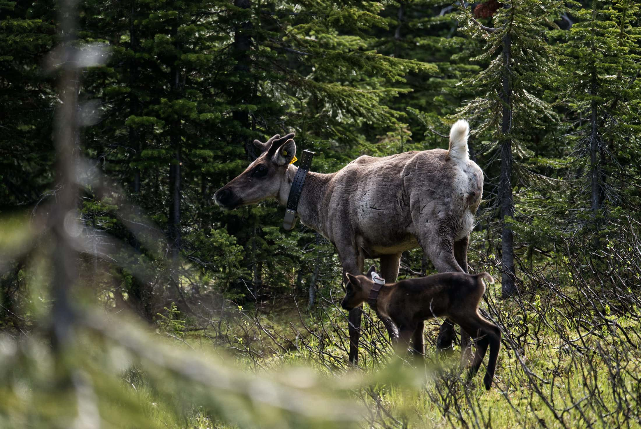caribou mother calf Klinse-za maternity pen