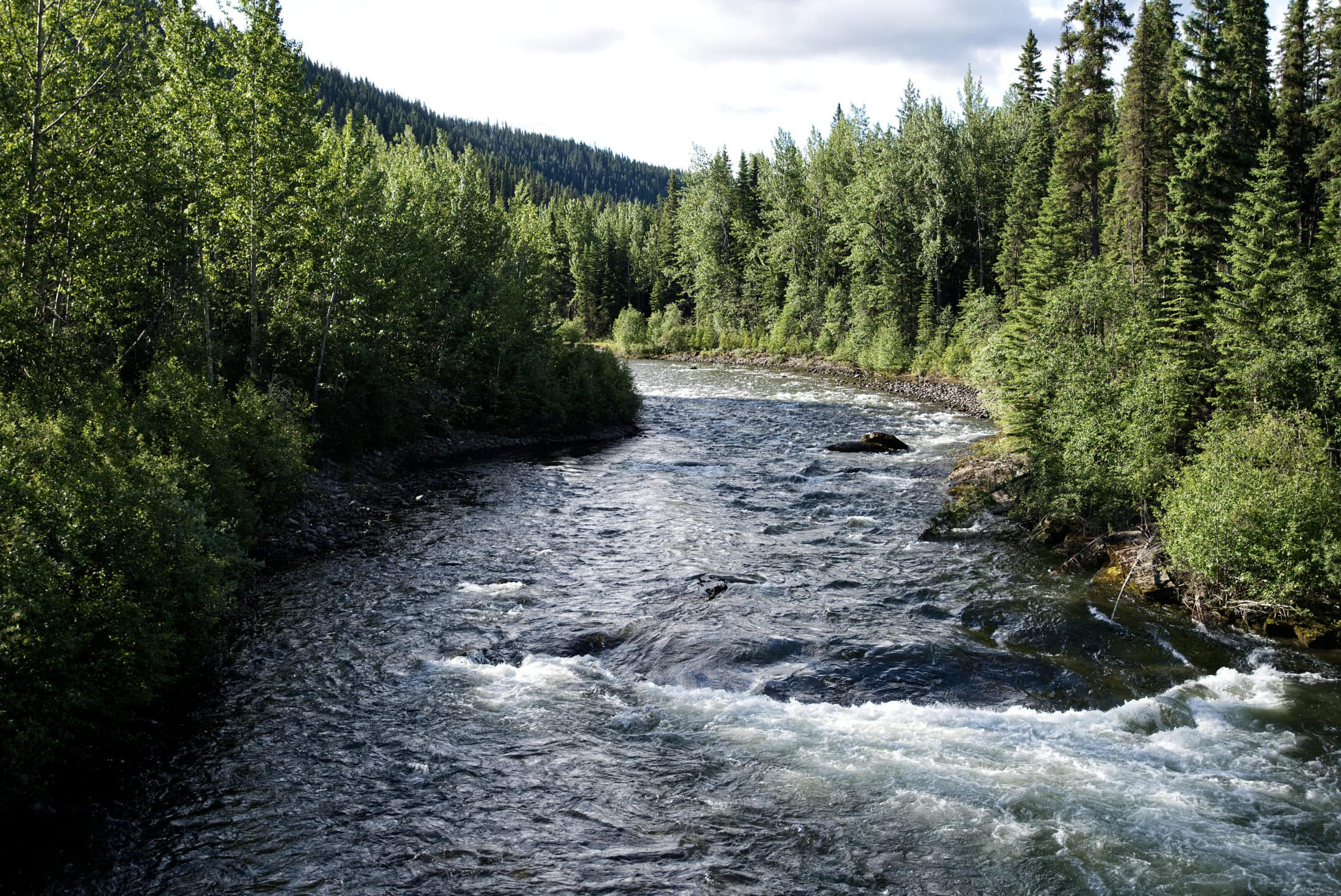 Carbon Creek Peace caribou