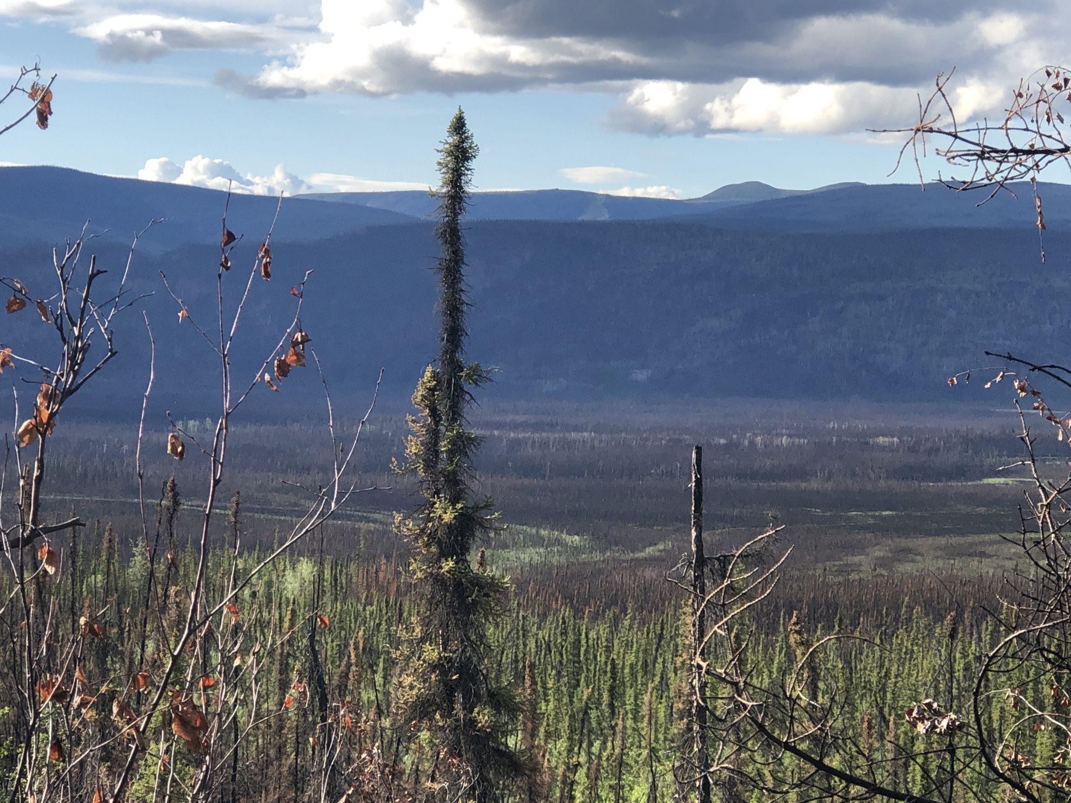 Keno City Yukon wildfire morel mushroom