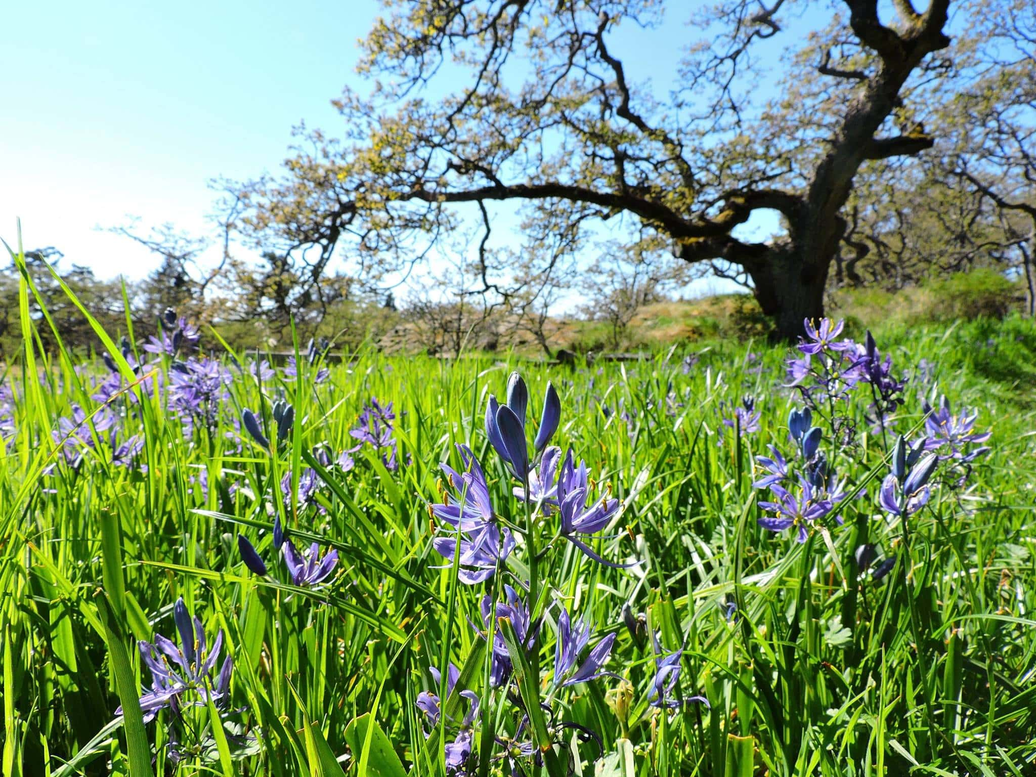 camas garry oak