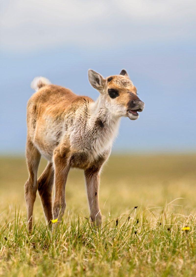 ANWR Yukon Alaska caribou
